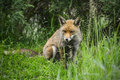 Stunning male fox in long lush green grass of Summer field Royalty Free Stock Photo