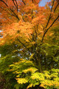 Stunning maple tree with glorious Autumn color Stock Photos