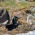 Stunning nesting shag cormorant birds Phalacrocorax Aristotelis Royalty Free Stock Photo