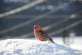 Stunning pine grosbeak feeding on snow male gros beak seed Royalty Free Stock Photos