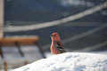 Stunning pine grosbeak sitting on snow male gros beak feeding seed Stock Image
