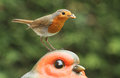 A stunning Robin red breast Erithacus rubecula bird sitting on the head of a large Robin garden ornament  with food in its beak. Royalty Free Stock Photo