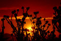 Stunning sunset dried flowers setting sun behind picture taken on july th spiny but beautiful concept Stock Image