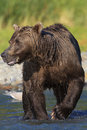 Stunning vertical picture of brown bear boar Royalty Free Stock Photo