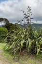 The sturdy Harakeke plant on New Zealand. Royalty Free Stock Photo