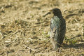 Sturnus vulgaris Royalty Free Stock Photos