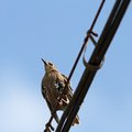 Sturnus vulgaris on cable european starling standing an electric Stock Photography