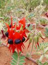 The sturt desert pea is native to australia australian sturts swainsona formosa arid regions of Royalty Free Stock Photo