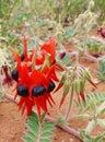 The sturt desert pea is native to australia australian sturts swainsona formosa arid regions of Royalty Free Stock Photo