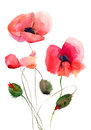 Stylized Poppy flowers illustration Stock Image