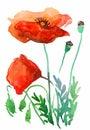 Stylized poppy flowers illustration isolated on white background Royalty Free Stock Photography