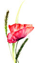 Stylized poppy flowers watercolor illustration Stock Photography