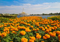 Suanluang r many marigold in Royalty Free Stock Image