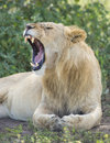 Sub adult, Male African Lion (Panthera leo) Tanzania Royalty Free Stock Photos