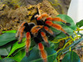 Sub adult male Brachpelma boehmei Royalty Free Stock Photo