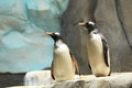 Subantarctic gentoo penguin the couple of subanarctic penguins Stock Photography