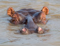 Submerged hippo submarine kruger park south africa Royalty Free Stock Photo
