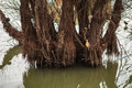 Submerged tree trunk partially in river during rising waters in spring Stock Photography