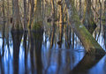 Submerged trees Royalty Free Stock Photo