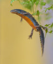 Submersed Alpine Newt in water Royalty Free Stock Photo