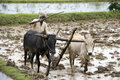 Subsistence farmer tamil nadu india peasent ploughing a paddy field in the chettinad district of the region of southern Stock Image