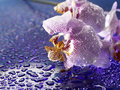 Subtle petals macro shot of violet and pink flower cobvered with water drops Royalty Free Stock Photography
