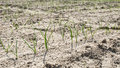 Subtle and vulnerable onion plants of newly sown onion seed very small green in dry soil Stock Images
