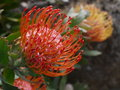 Subtropical garden: orange protea flower Stock Images