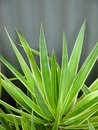 Subtropical garden: yucca leaves Stock Photo