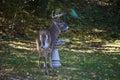 Suburban Backyard Deer Royalty Free Stock Photo