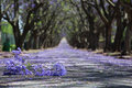 Suburban road with line of jacaranda trees and small branch with Royalty Free Stock Photo