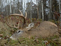 Successful archery deer hunt a large whitetail taken during a Royalty Free Stock Images