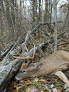 Successful deer hunt a large whitetail taken during a Stock Images