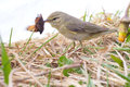 Successful hunting of willow warbler eats the caught butterfly Stock Photo