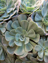 Succulent 2 Royalty Free Stock Image