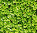 Succulent Carpet Royalty Free Stock Photos