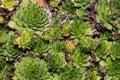 Succulent green plant in garden Royalty Free Stock Photos