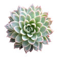 Succulent Isolated Royalty Free Stock Photo