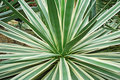 Succulent plant agave Royalty Free Stock Photos