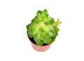 Succulent plant sempervivum Stock Photos
