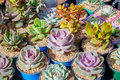 Succulent plants in flowerpots. Royalty Free Stock Photo