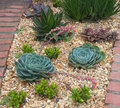 Succulent plants garden with blooming echeveria Royalty Free Stock Images