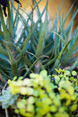 Succulent plants a macro view of Royalty Free Stock Image