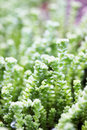 Succulent sedum unpretentious evergreen ground cover plant Royalty Free Stock Photo