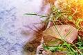 Suchy duży ficus liść w trawie Obraz Royalty Free