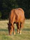 Suffolk Punch Grazing Stock Photo