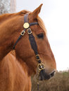 Suffolk punch horse head shot a of a in a bridle Royalty Free Stock Photos