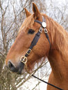Suffolk punch horse head shot a of a in a bridle Royalty Free Stock Images
