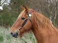Suffolk punch horse head shot a of a in a bridle Royalty Free Stock Photo