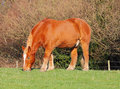 Suffolk Punch Horses Stock Photography